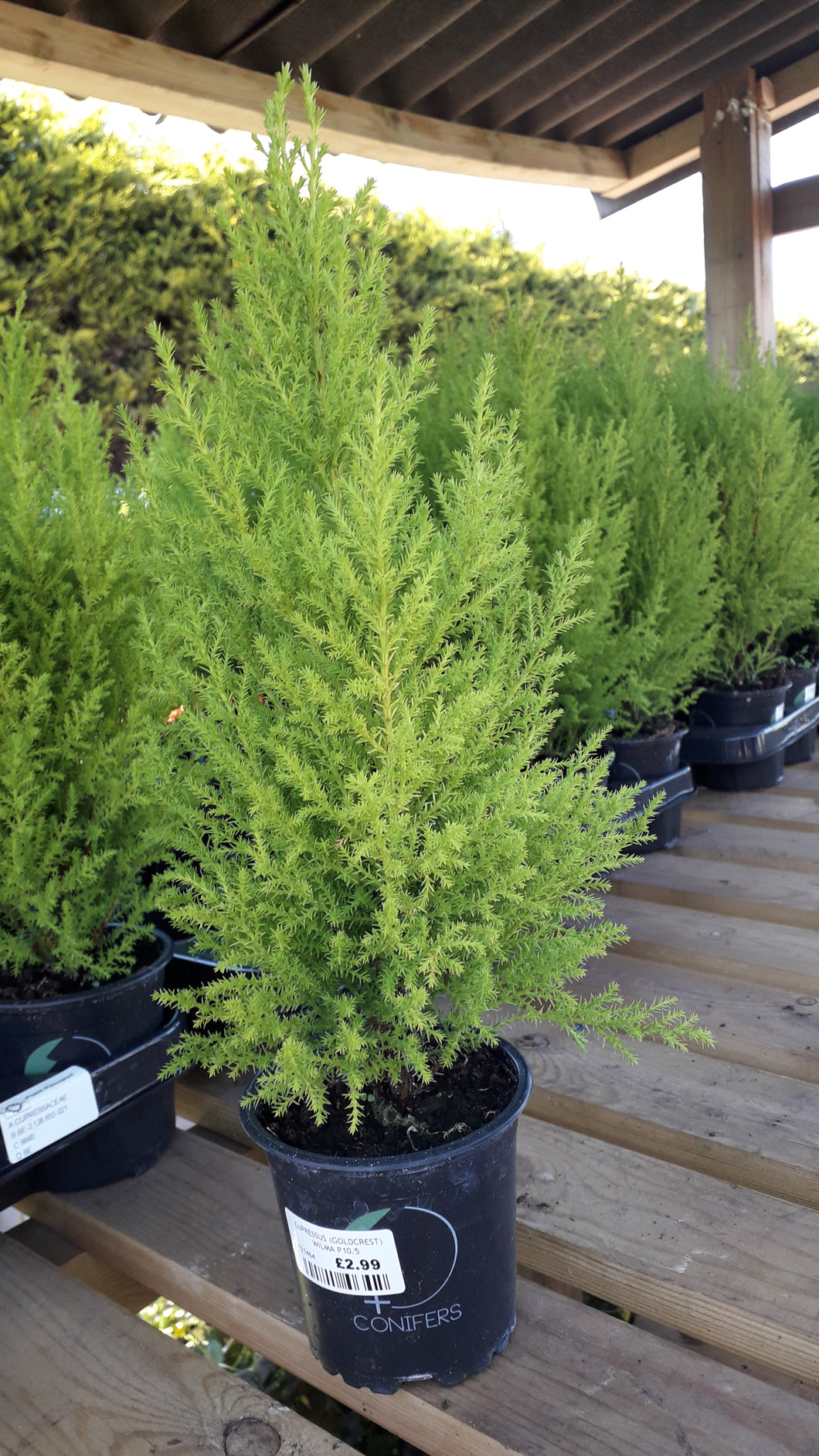 Goldcrest conifer 30cm