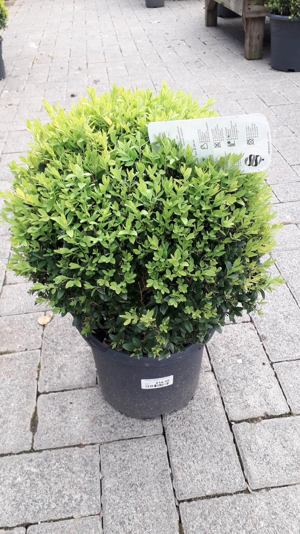 Buxus Sempervirens Ball - 20cm Box Hedge Topary Ball