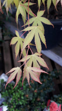 Load image into Gallery viewer, Acer 'Katsura' 20Ltr **EXTRA LARGE**