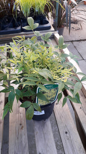 Nandina 'Lemon and Lime'