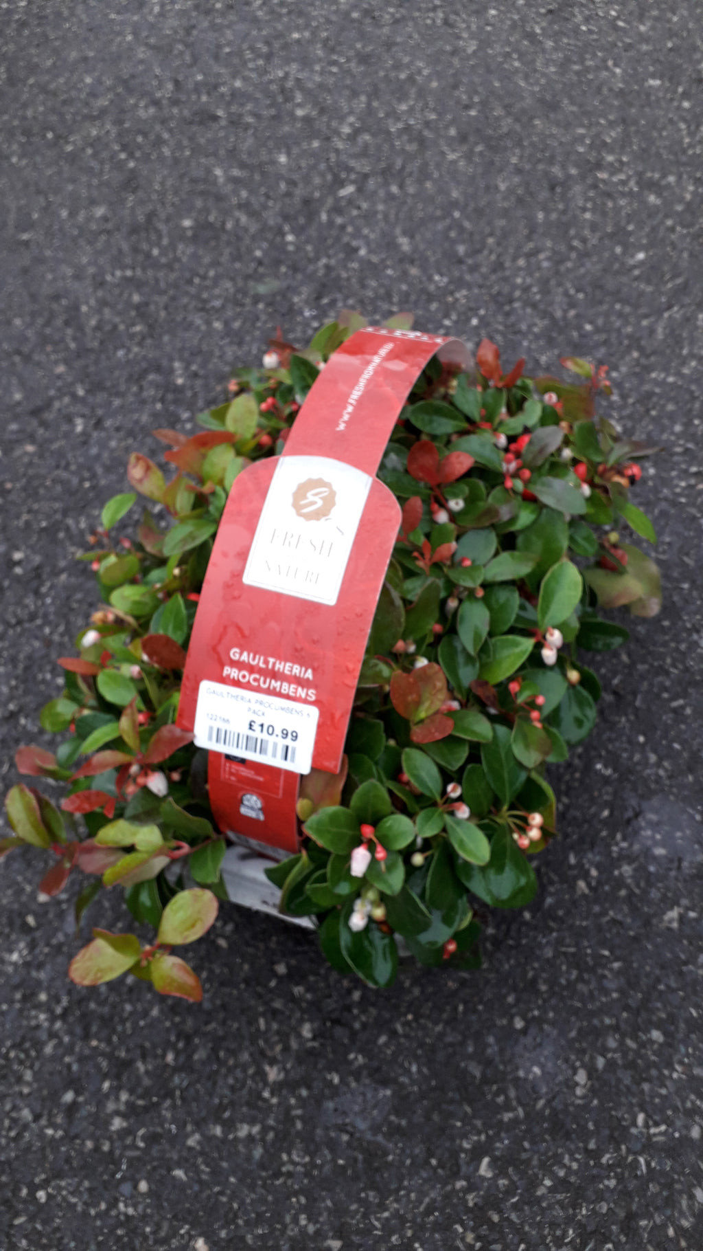 Gaultheria Procumbens 6 pack