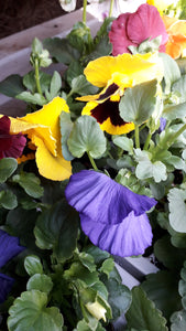 Autumn/Winter Pansy 6 Pack