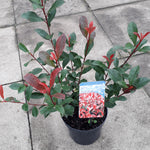 Photinia 'Carre Rouge'
