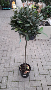 Laurus Noblis (Bay) Standard ball 90cm