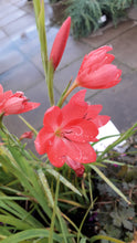 Load image into Gallery viewer, Schizostylis 'Major'