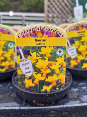 Potted Narcissi 9cm Pot size x 3