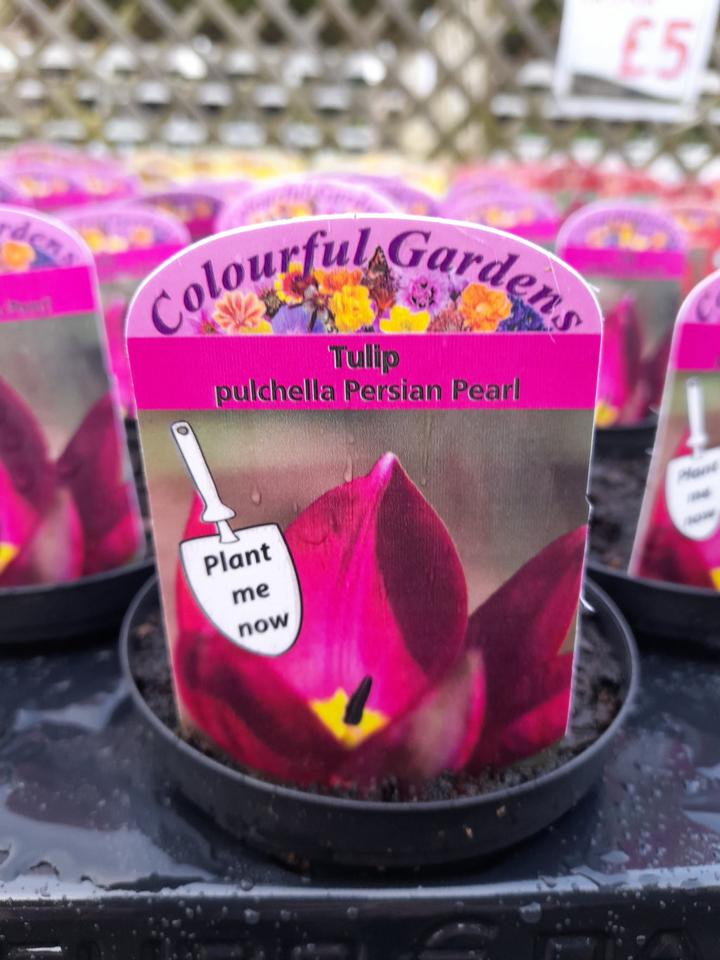 Potted Dwarf Tulip 9cm Pot size x 3