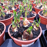 Potted Tete a Tete Narcissus 1Ltr Pot size x 3