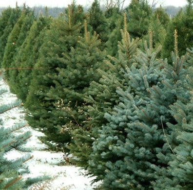 XL Premium Cut Norway Spruce Real Christmas Tree ** Special Order **
