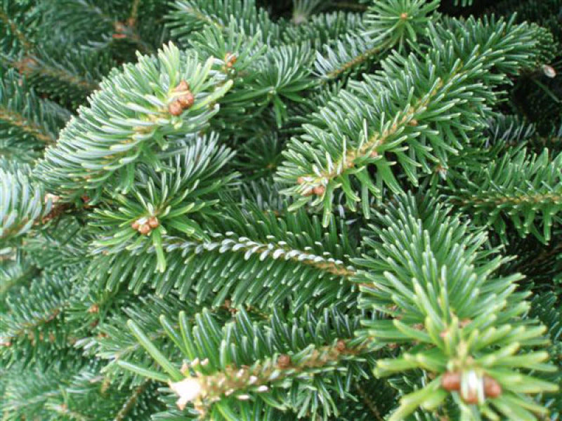 PREMIER CUT FRASER FIR REAL CHRISTMAS TREE
