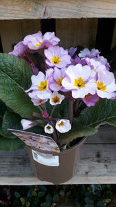 **BETTER THAN HALF PRICE** Polyanthus Pink Champagne 2 Ltr