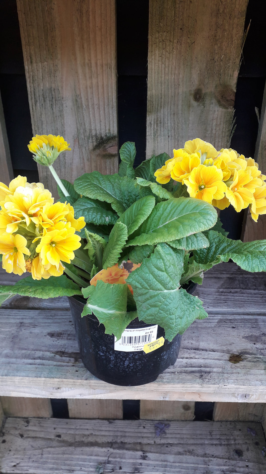 **HALF PRICE** Polyanthus Yellow 2 Ltr