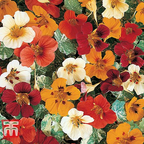 Thompson & Morgan Nasturtium non-trailing Seeds