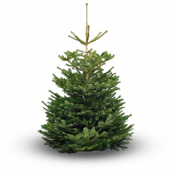 PREMIER CUT NORDMANN FIR REAL CHRISTMAS TREE