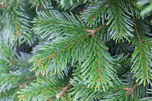 SELECT SLIMLINE CUT NORDMANN FIR REAL CHRISTMAS TREE