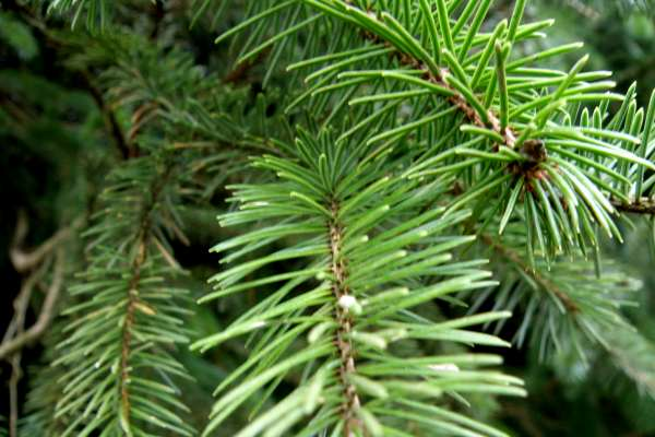 PREMIER CUT NORWAY SPRUCE REAL CHRISTMAS TREE