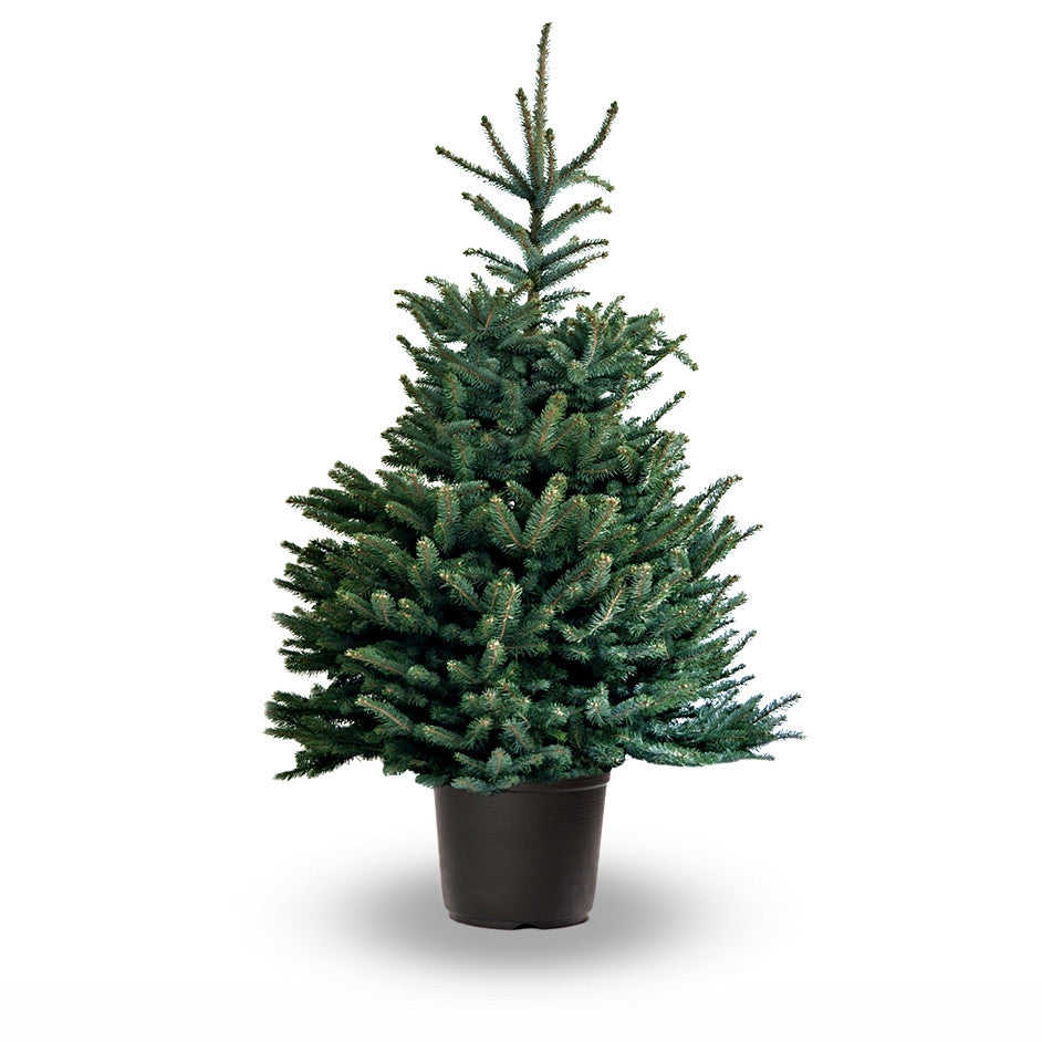 BLUE SPRUCE CHRISTMAS TREE - POT GROWN