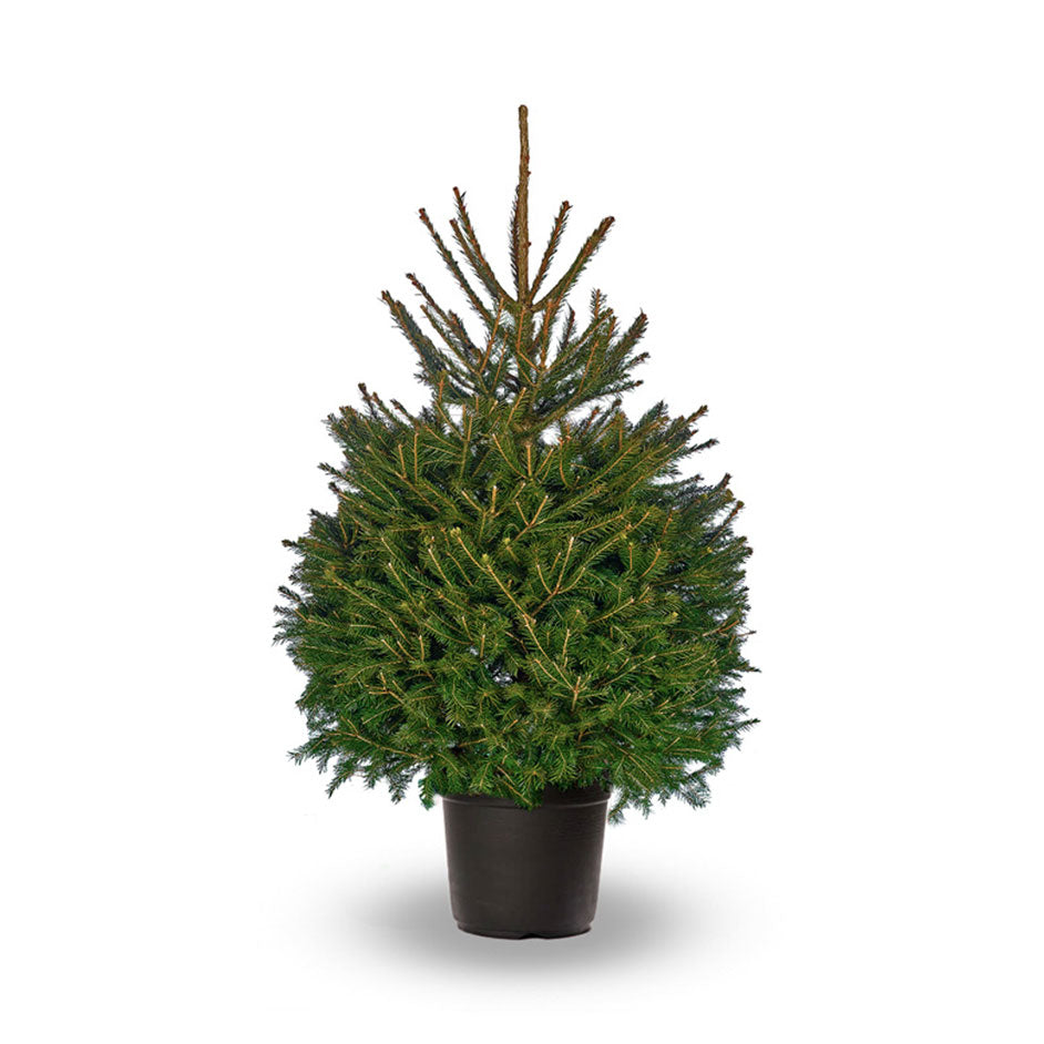 NORWAY SPRUCE CHRISTMAS TREE - POT GROWN