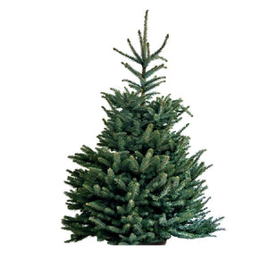 PREMIER CUT BLUE SPRUCE REAL CHRISTMAS TREE 150-175CM