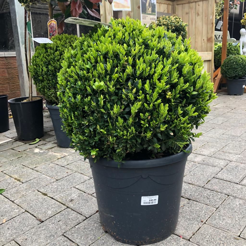 Buxus Sempervirens Ball - 30cm Box Hedge Topary Ball