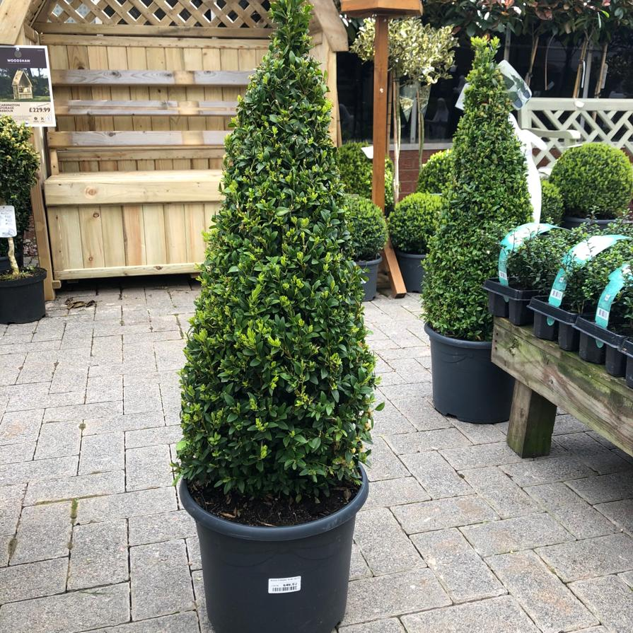 Buxus Sempervirens Pyramid - 70-80cm Box Hedge Topary Ball