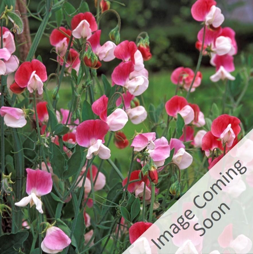 GERANIUM MIX SEEDS