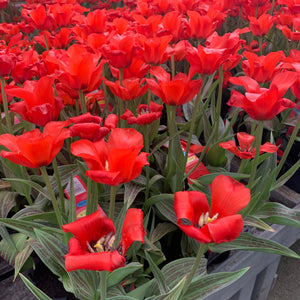 Tulip Red Riding Hood x 6 pots