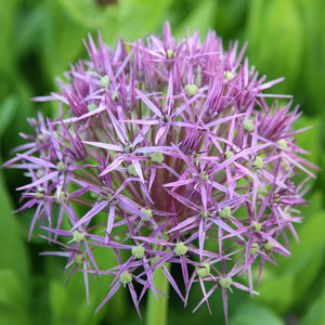 Allium Christophii 2Ltr Pot size