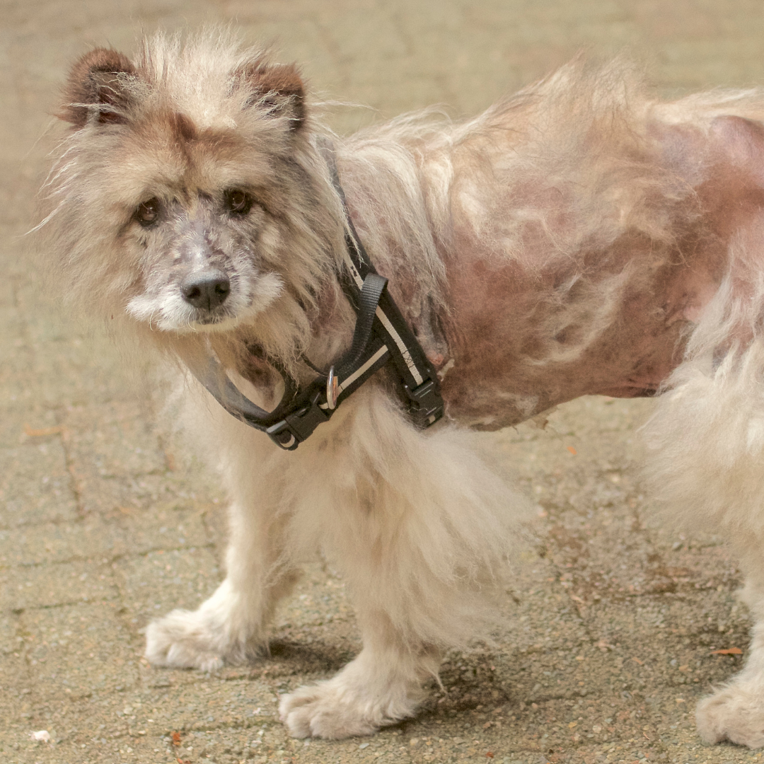 Dog's Excessive Hair Loss - What to Do?