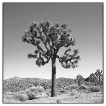 "Load image into Gallery viewer, Joshua Tree - 36""x36"" Poster"
