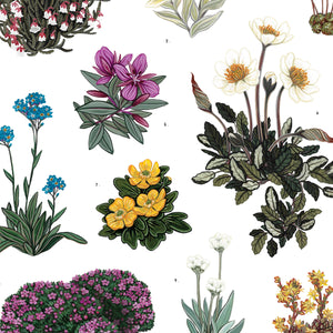 Alpine Flowering Plants - artist print