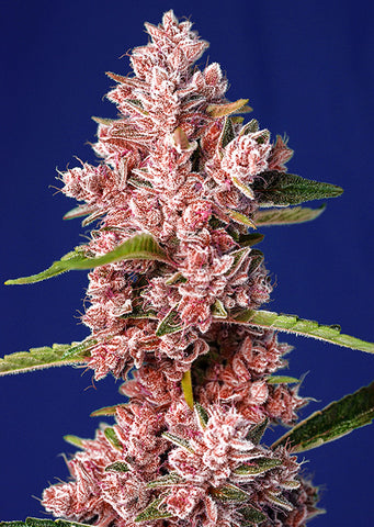 Tropicanna Poison Fast Version Fem. Sweet Seeds