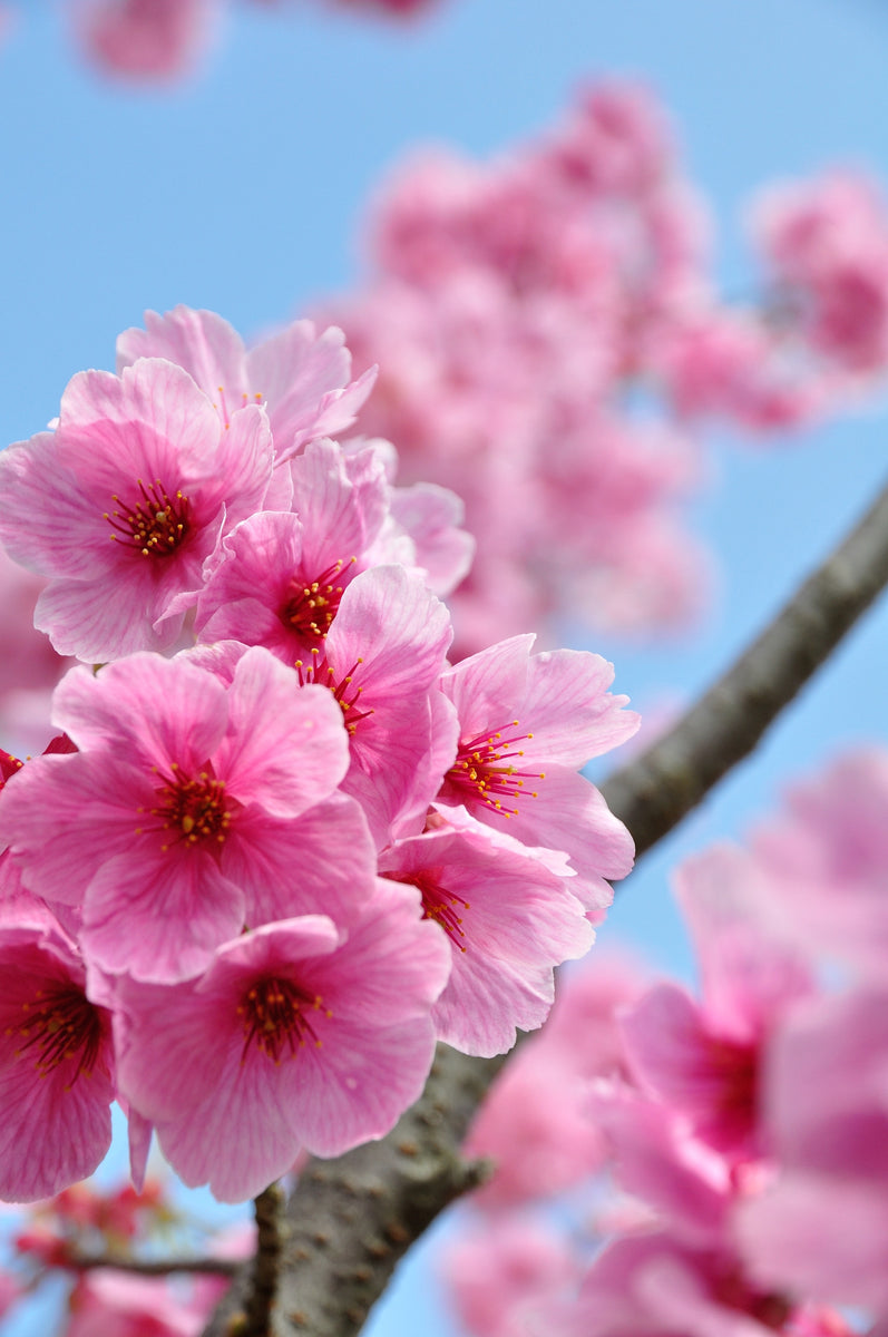 Japanese Cherry Blossom 2 Pack Car Air Freshener Scents