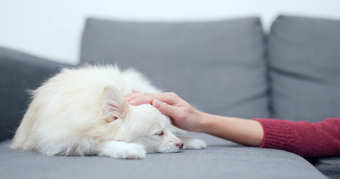 How resveratrol can help dogs with chronic diseases