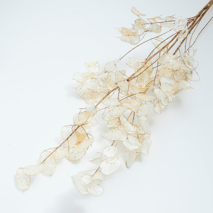 Lunaria Bunch - Natural