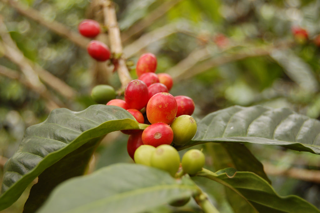 COLOMBIAN DECAF ARRIVES AT BAILIES