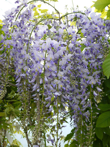 Products Tagged Wisteria Staverton Nursery