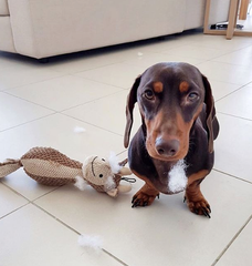 sausage dog with toy