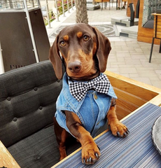 sausage dog at the table