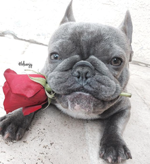 french bulldog with rose