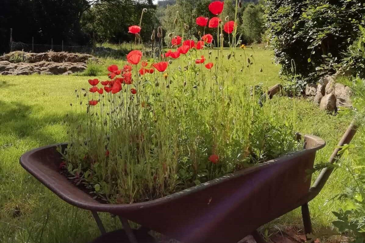 Wheelbarrow in garden with Scottish Bee Company wildflower seeds growing inside