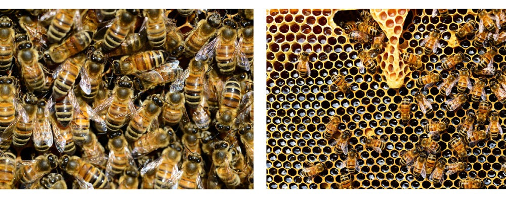 bees in hive and honeycomb