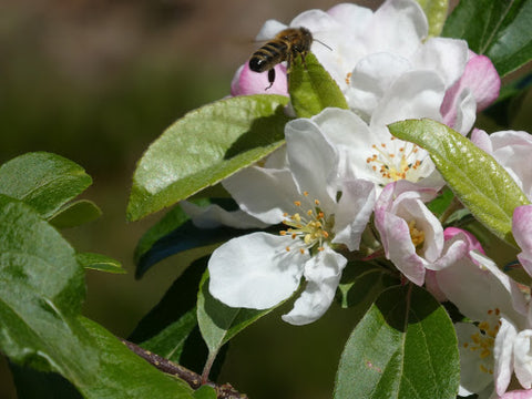 honey bee on crab apple