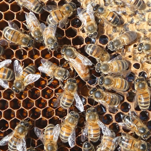 queen bee in a hive