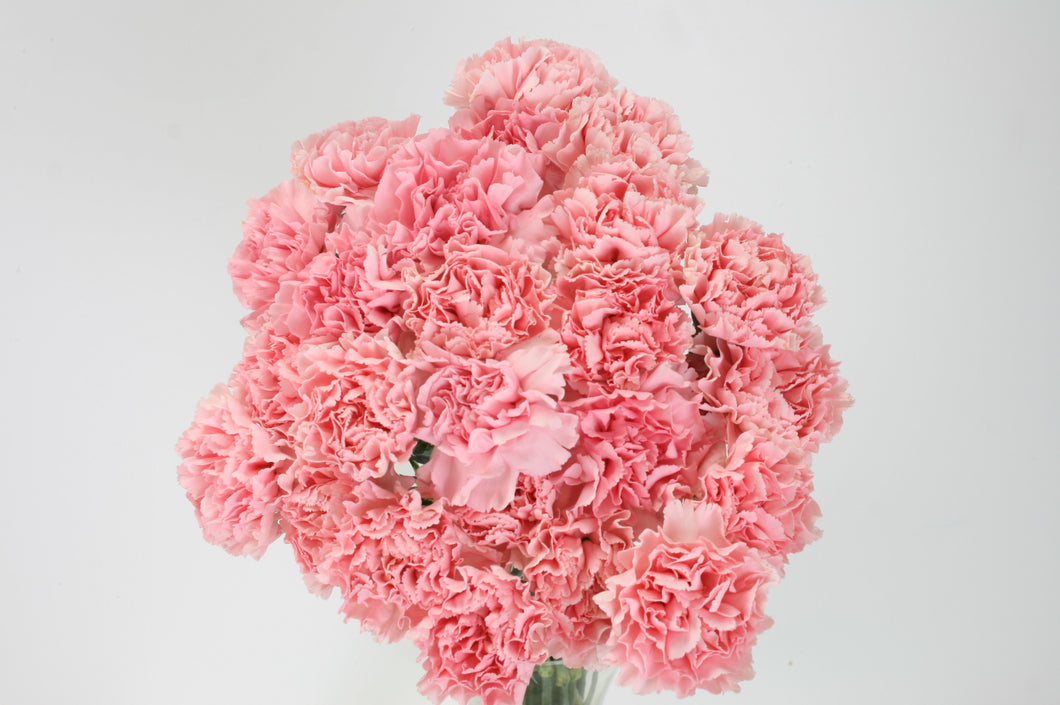 25 Pink Carnations
