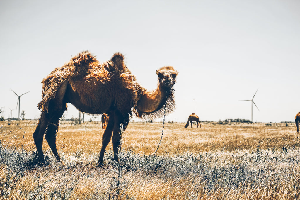 A camel with two humps up-close looking at you with dromedaries and windmills in the background