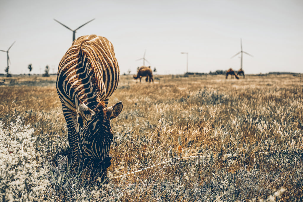 Zebra up-close on open grassland with camels and windmills in the background