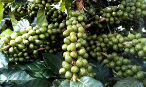 Organic Fair Trade Nicaraguan Coffee - Sally Sue's Coffee