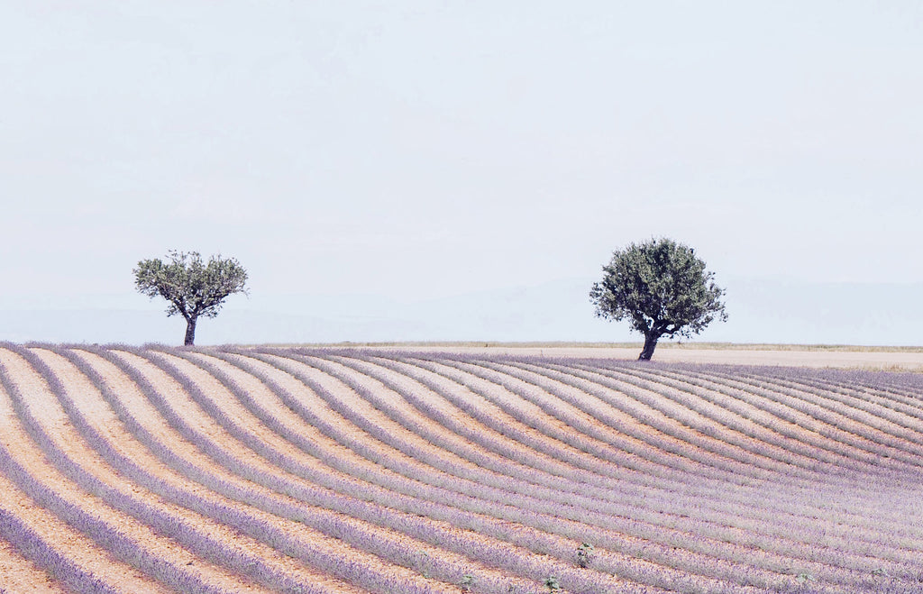 IN THE LAVENDERS FIELDS WITH COMPAGNIE DE PROVENCE