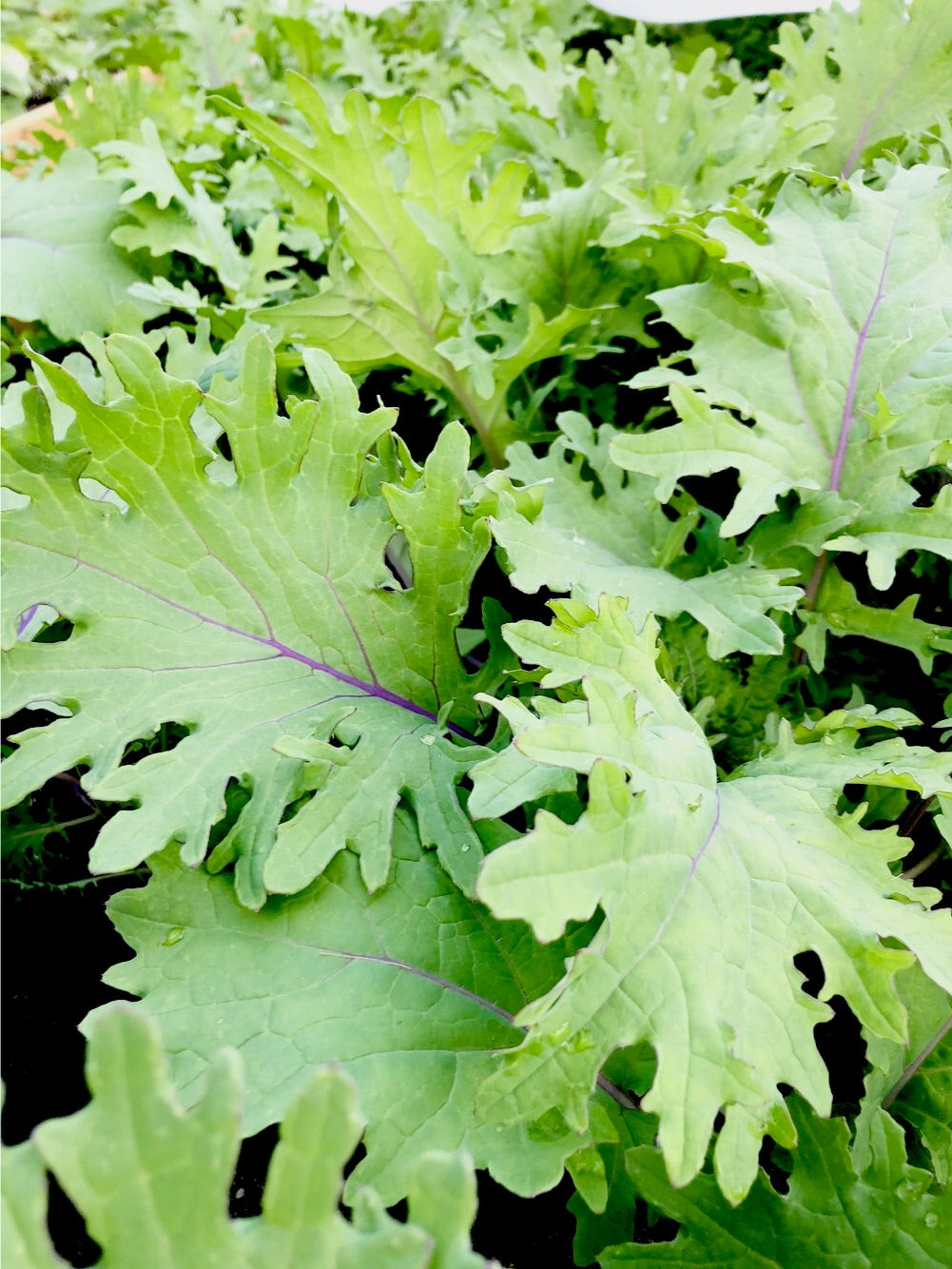 Tender Leaf Kale (bunch) Organic